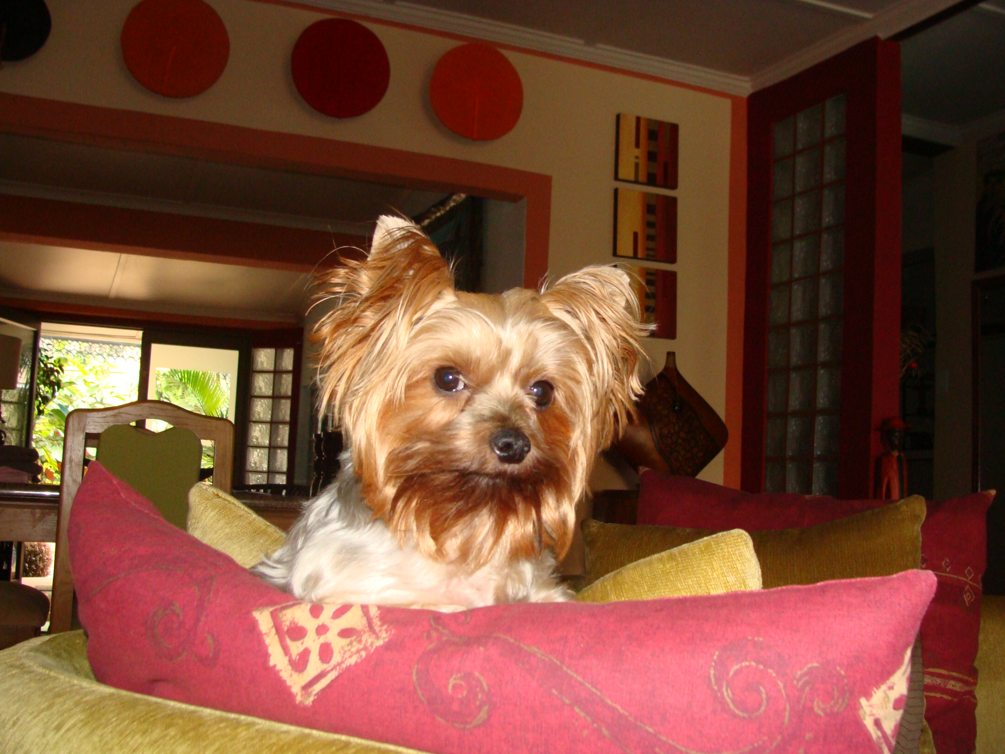yorkie dog house 28 images 60 best yorkshire terrier With yorkie dog house